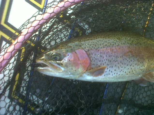 Branson fishing guide service taneycomo trout branson for Branson trout fishing